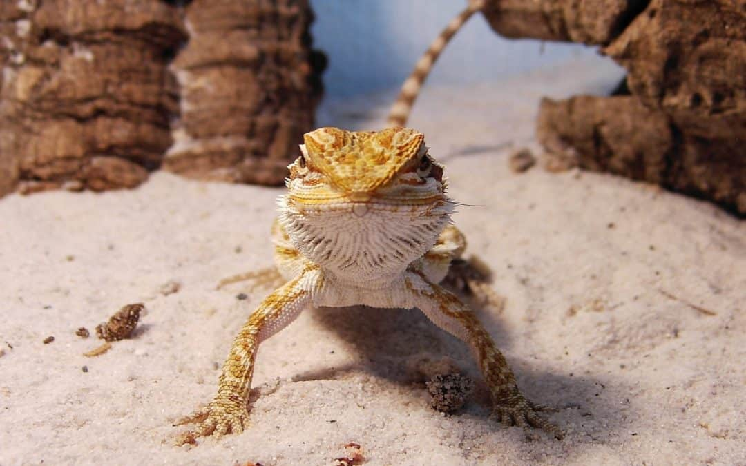 100 Extraordinary Ideas for Star Wars Bearded Dragon Names