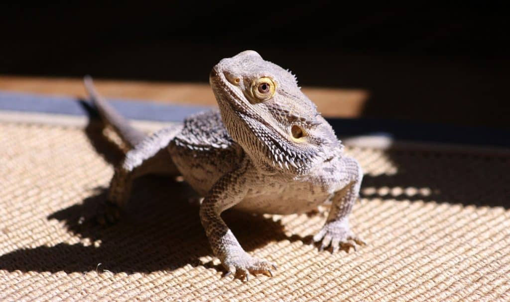 star wars bearded dragon names for your little dragon