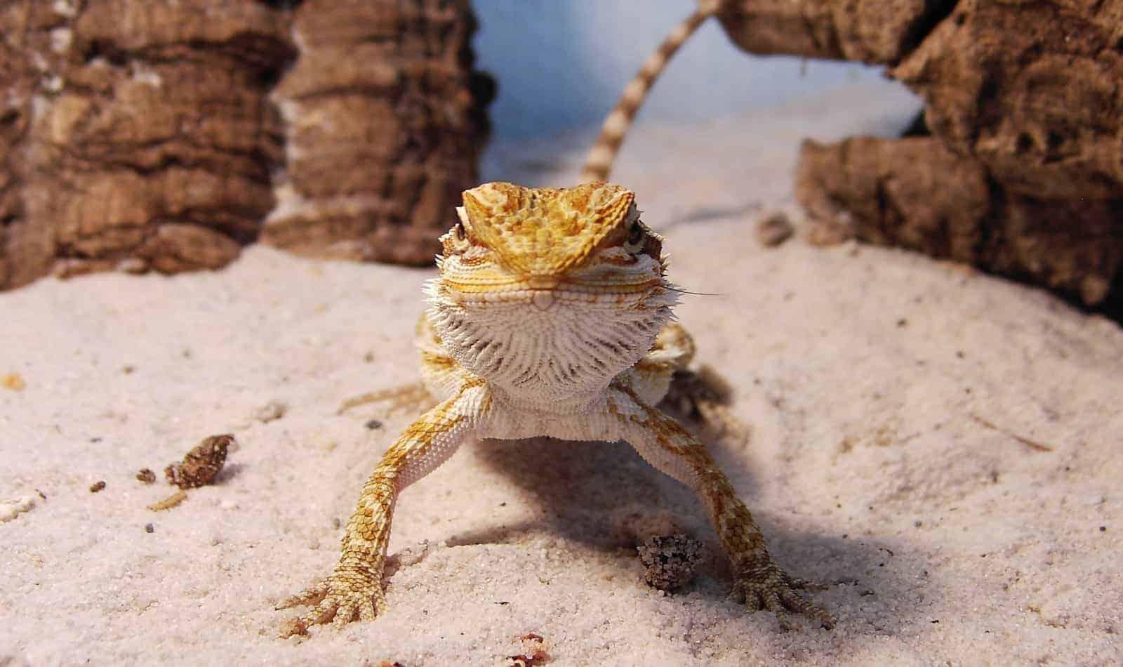100 starwars bearded dragon names