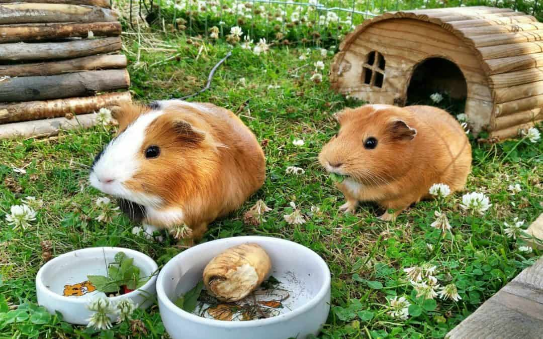 5 Things to Put in Your Guinea Pig Habitat