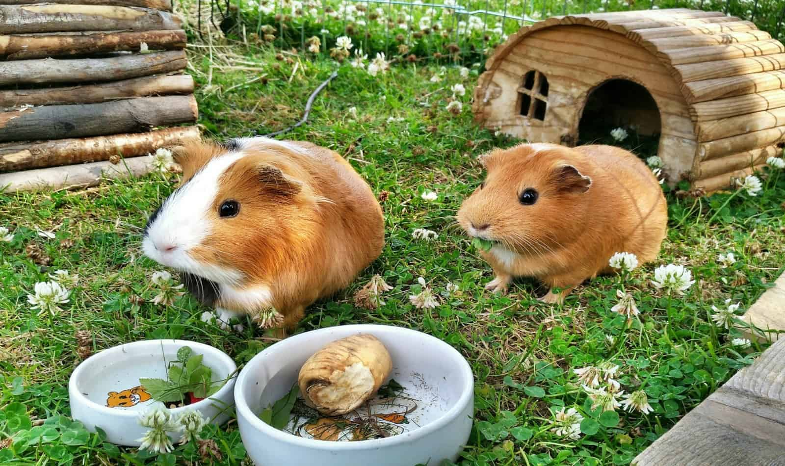 necessary things to put in your guinea pig habitat
