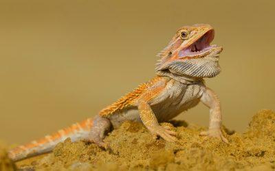 Three-Legged Bearded Dragon Names: 100 Amazing Ideas