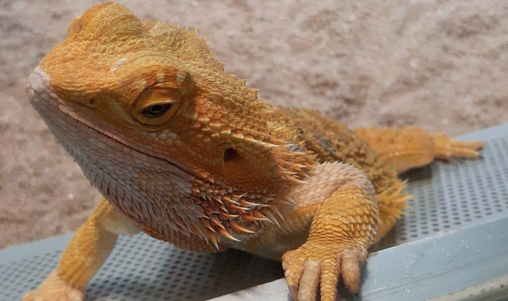 a yellow three-legged bearded dragon