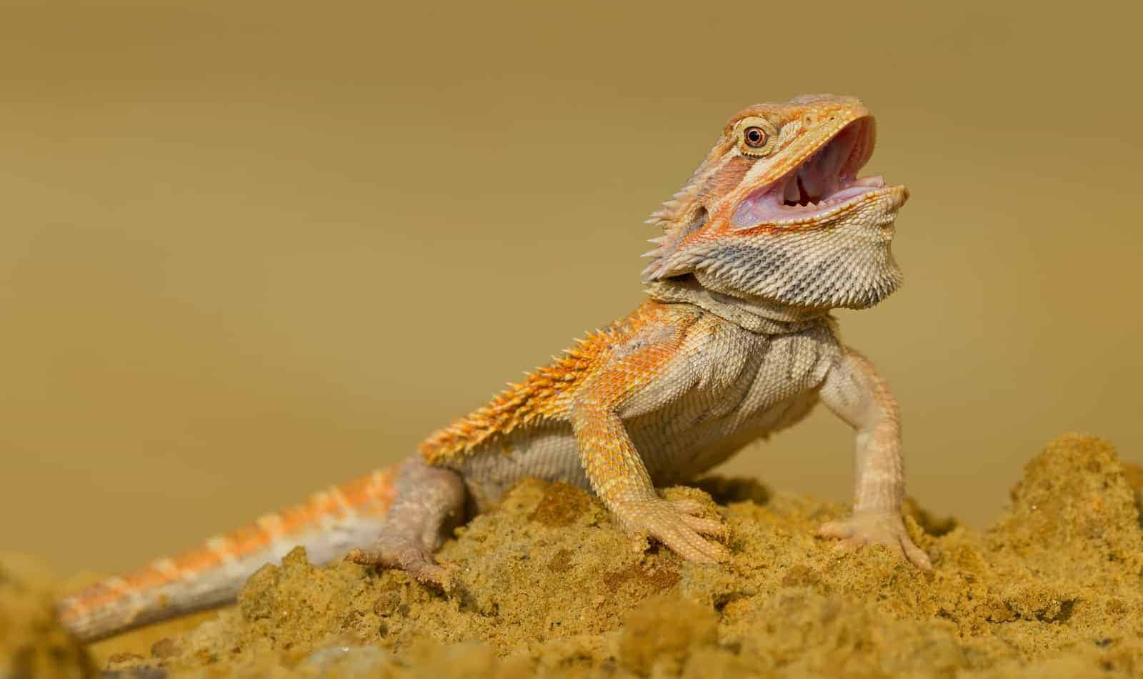 Central three-legged bearded dragon on the rock with an open mouth