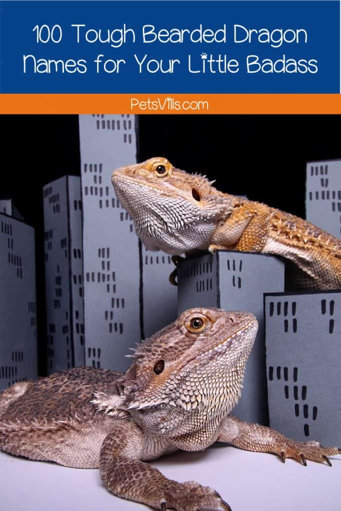 Looking for some tough bearded dragon names? Well, we've got you 50 male and 50 female ideas that will surely match your pal. Read on!