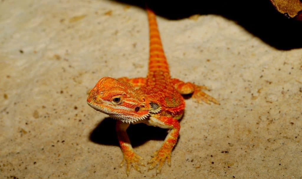orange lizard with tough bearded dragon name