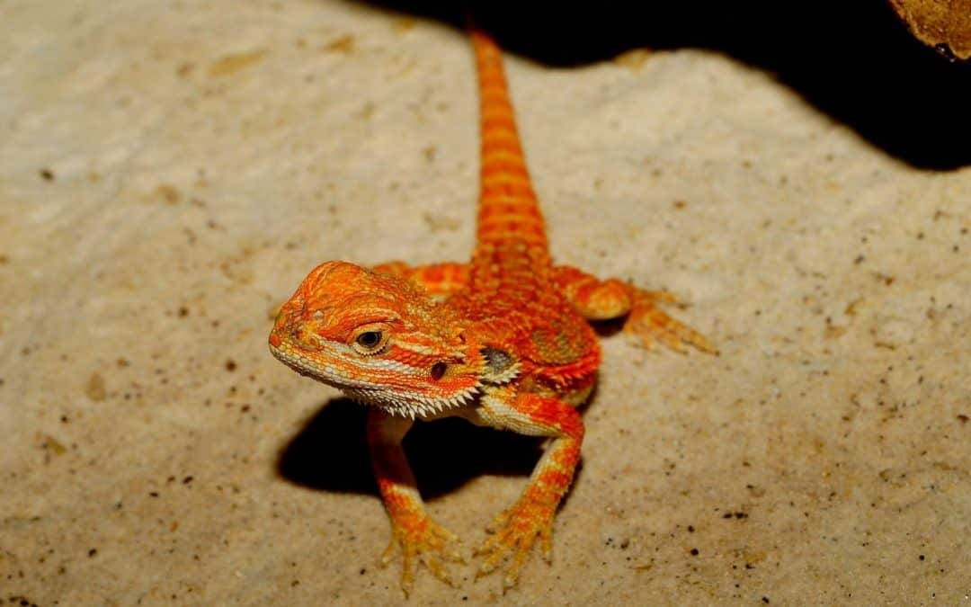 7 Interesting Facts about Bearded Dragons