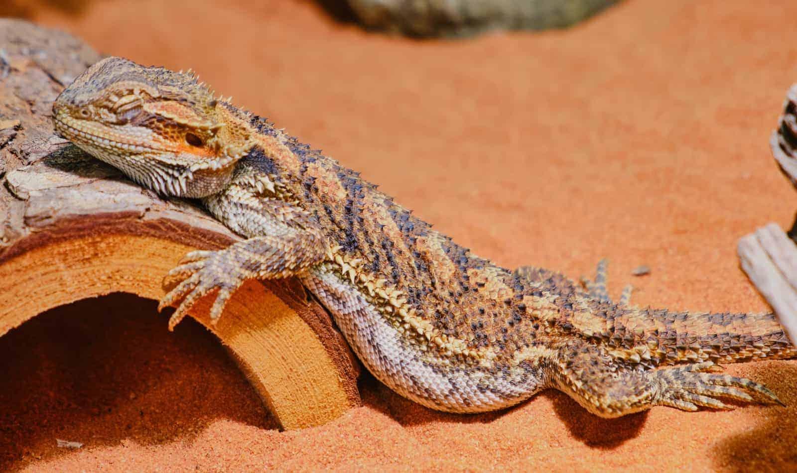 female bearded dragon sleeping in the corner lying on a wood