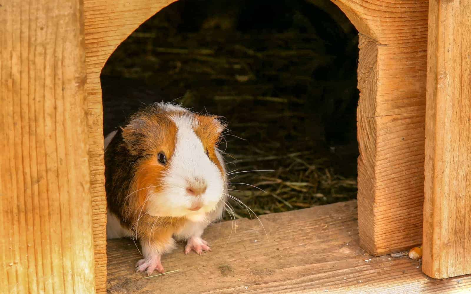 a guinea pig standing on the front door of his hutch