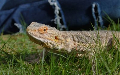 Can Bearded Dragons Eat Canned Vegetables? (Amazing Guide)
