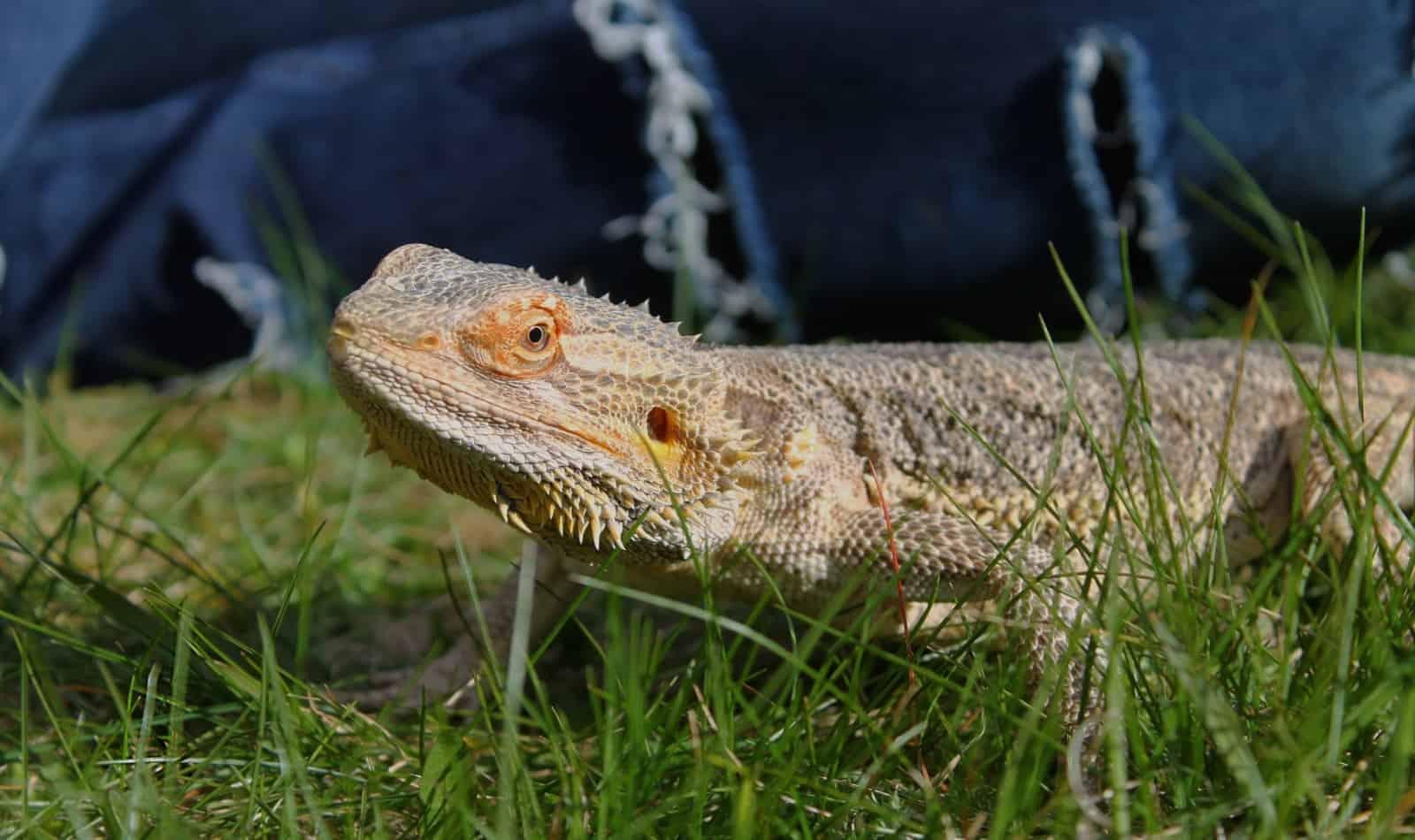 a bearded dragon walking on a grass