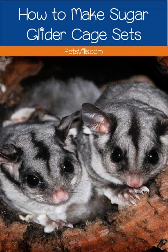 pair of sugar gliders huddled together