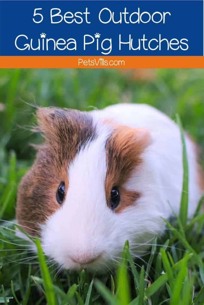 guinea pig outdoors in grass