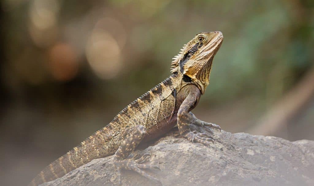 bearded dragon on a gray rock