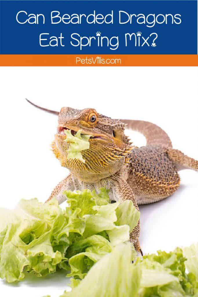 bearded dragon eating veggies with text