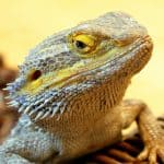 yellow bearded dragon seems like finding spring mix to eat
