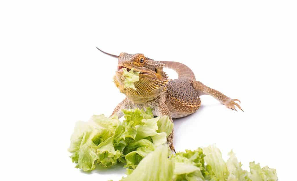 bearded dragon eating lettuce on white background