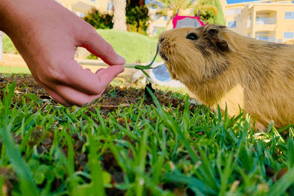 a man's hand feeding grass to a brown guinea pig