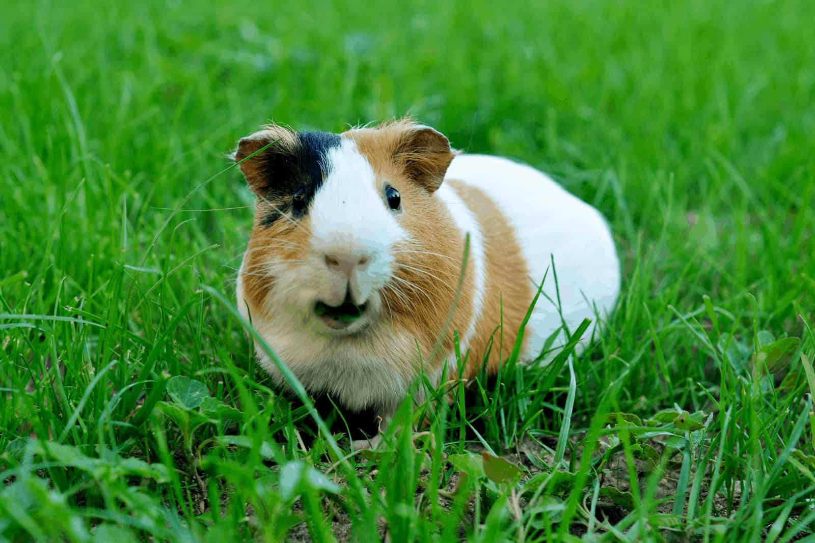 a cute guinea pig surrounded by green grasses: can guinea pigs eat grass instead of hay?