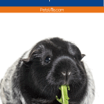 black and white guinea pig eating sprouts