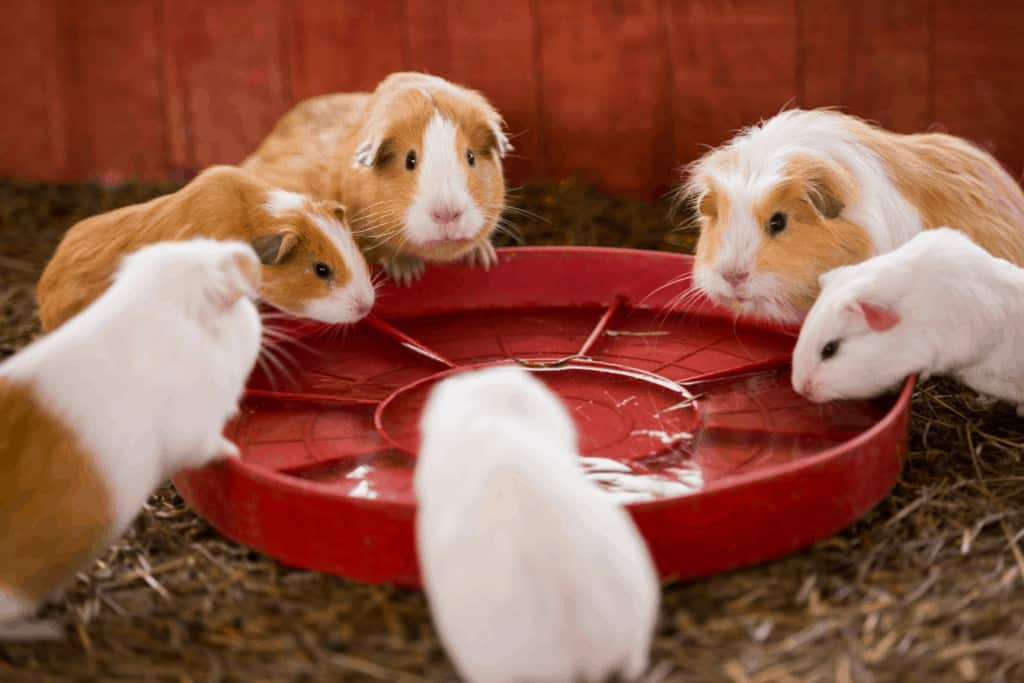 5 guinea pigs eating on a red bowl