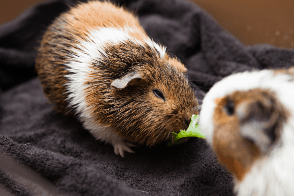 two guinea pigs eating leaves: can guinea pigs eat sprouts instead?