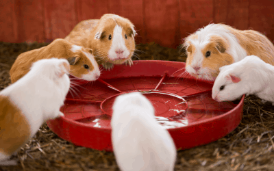 Can Guinea Pigs Eat Sprouts? [6 Nutritional benefits]