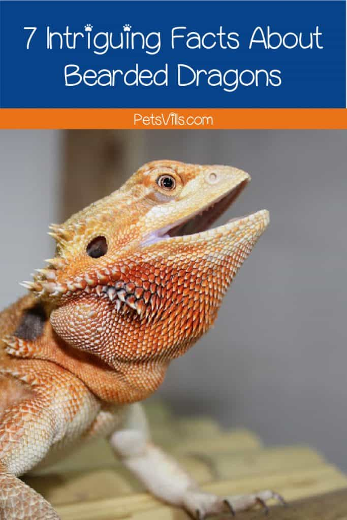 Bearded dragon standing tall with text that reads