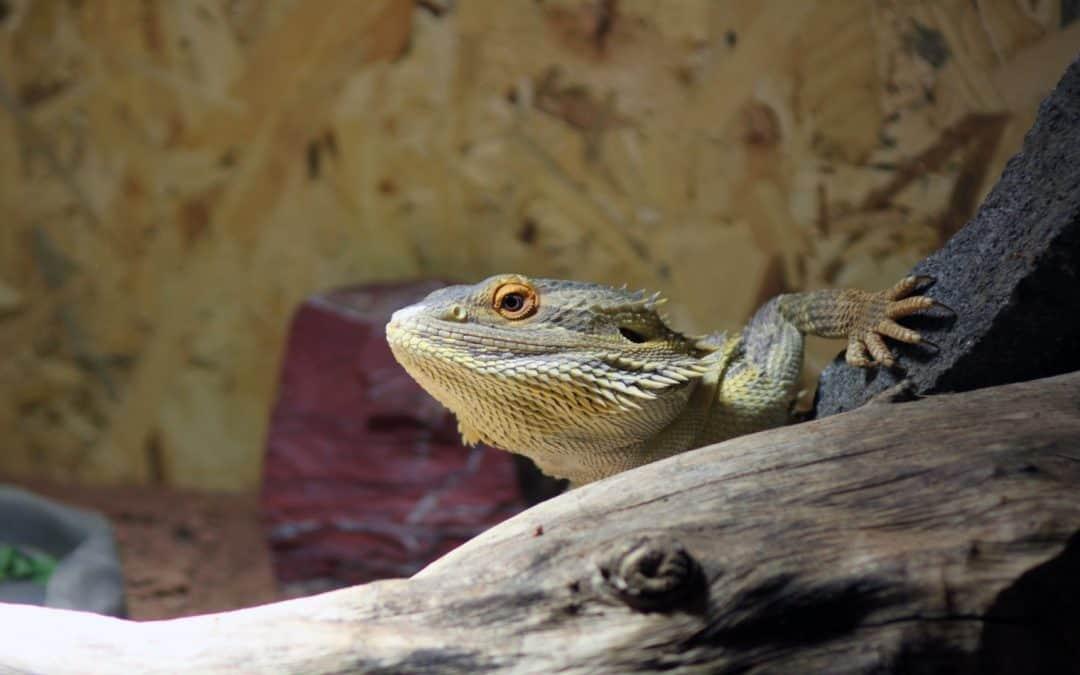 Fancy Bearded Dragon Names: 100 Awesome Ideas