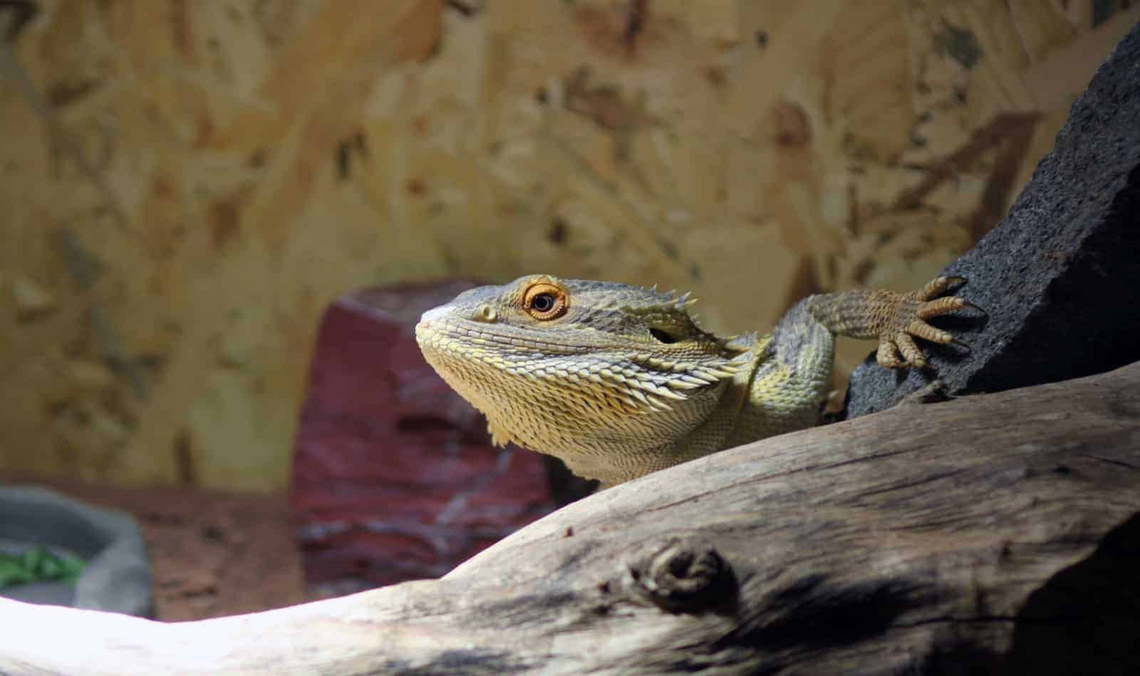 pogona vitticeps with fancy bearded dragon names on top of a wood