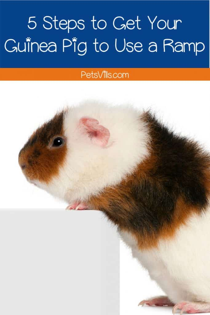 Guinea pig standing up on a white ramp step
