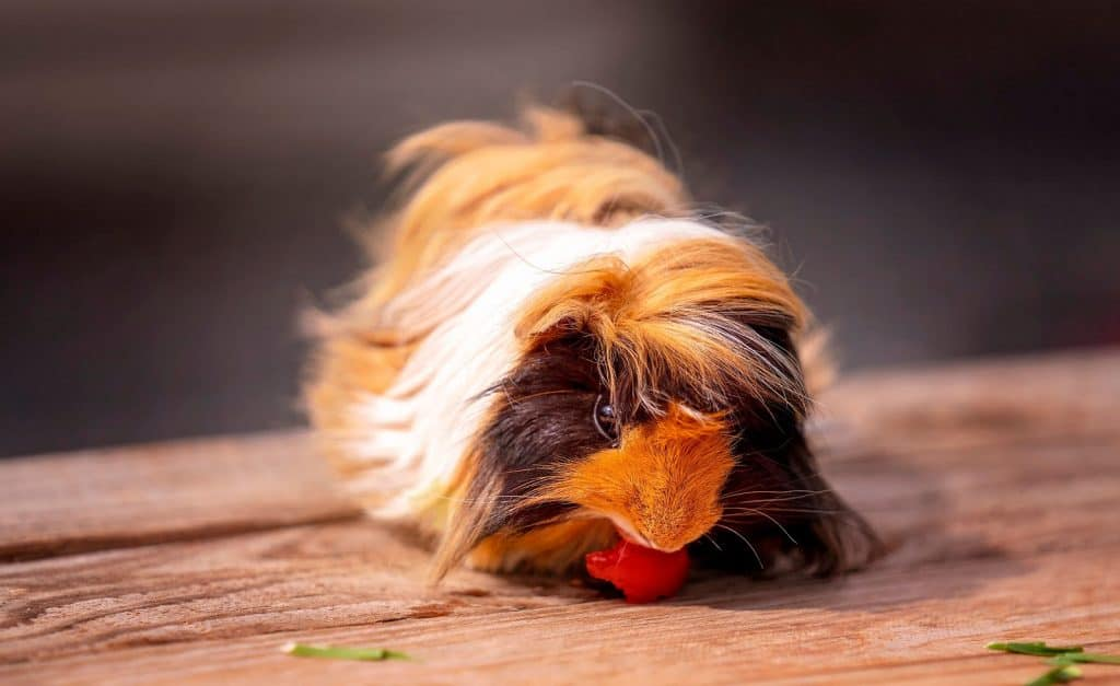 A cute guinea pig, also known as a cavy, eating a cherry tomato for his dinner
