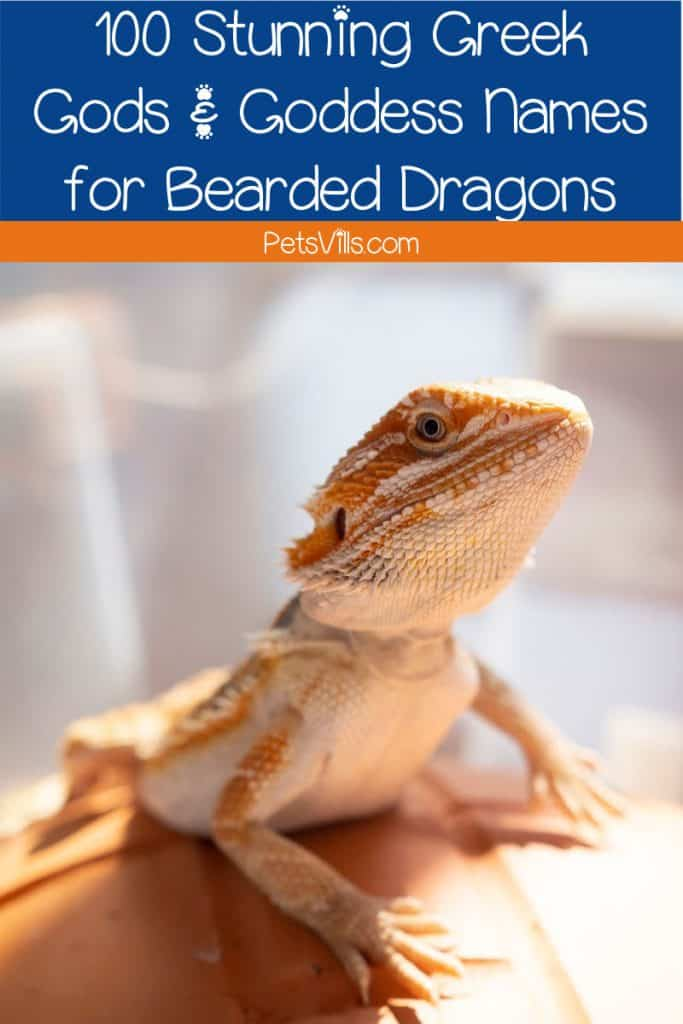 bearded dragon standing on a ball with text
