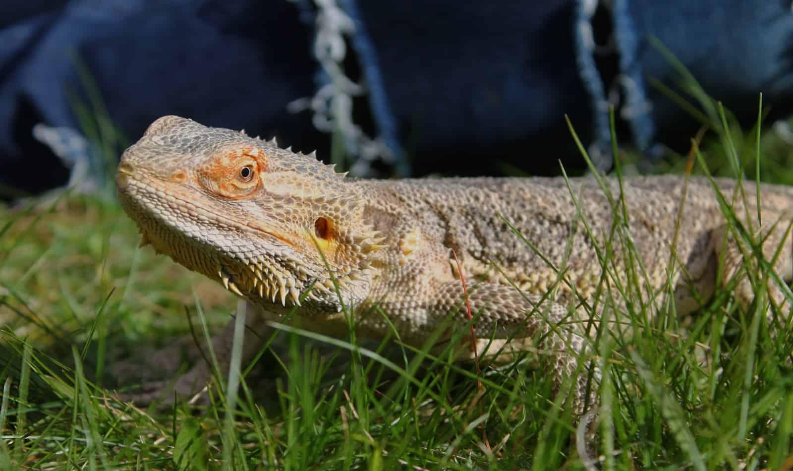 bearded dragon walking on the grass