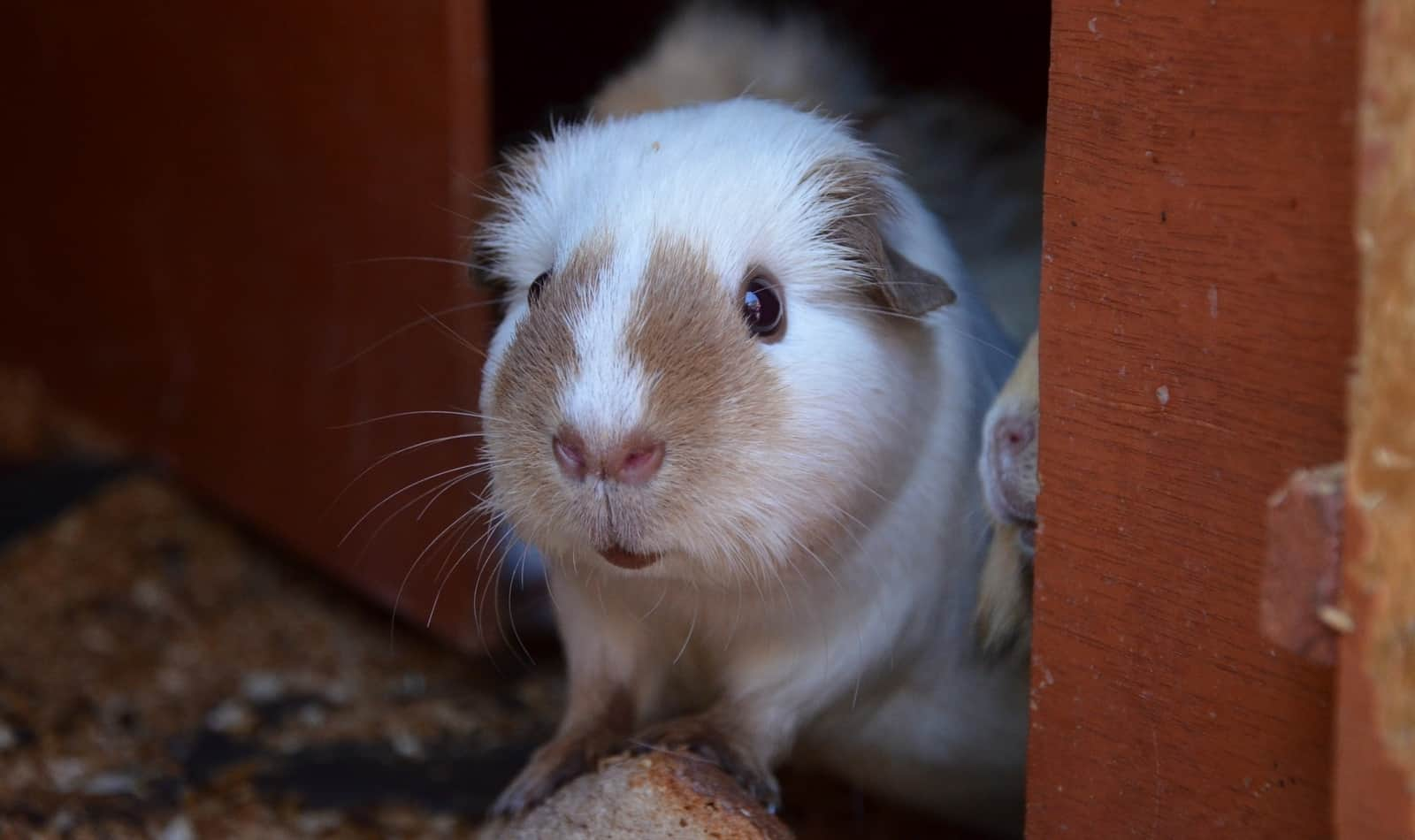 guinea pig getting outside the door's cage