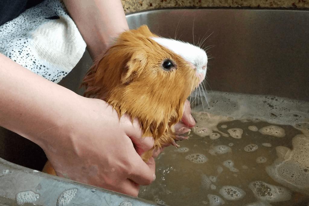 a cute brown guinea pig taking a bath in a sink
