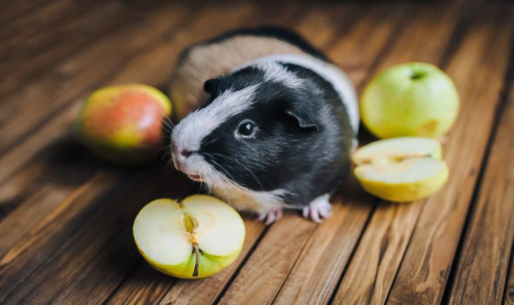black and white guinea pig surrounded by apples