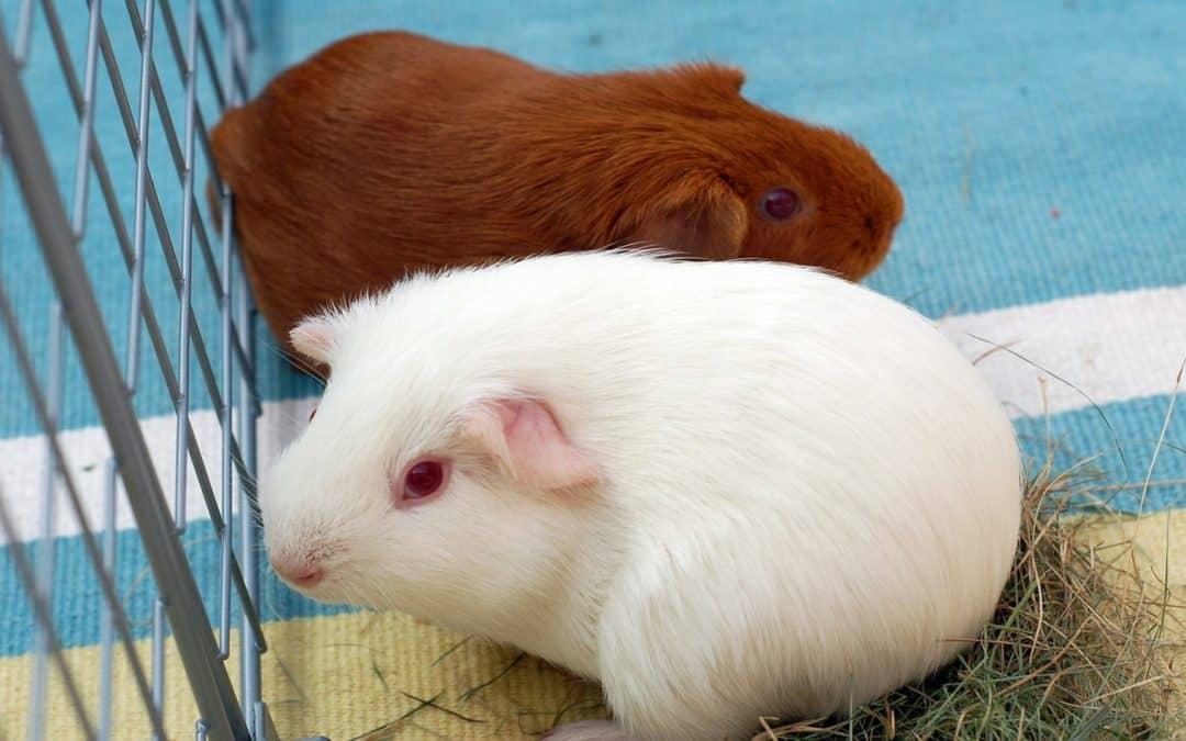 How Do I Get My Guinea Pig to Use a Ramp? (5 Easy Steps)