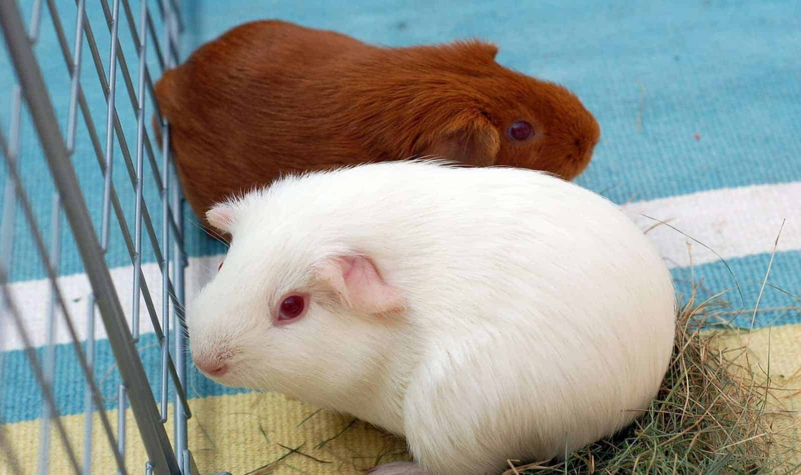 white and brown guinea pig beside their cage