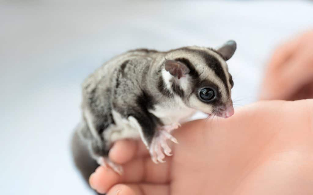 Female hand with cute sugar glider on light background