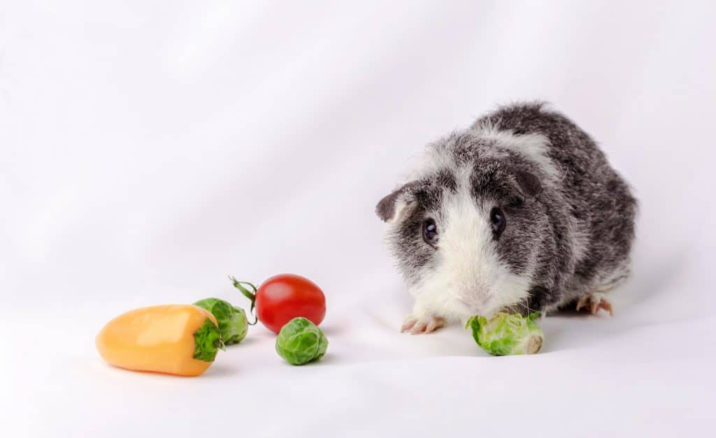 American teddy breed guinea pig on white fabric background eat vegetables.