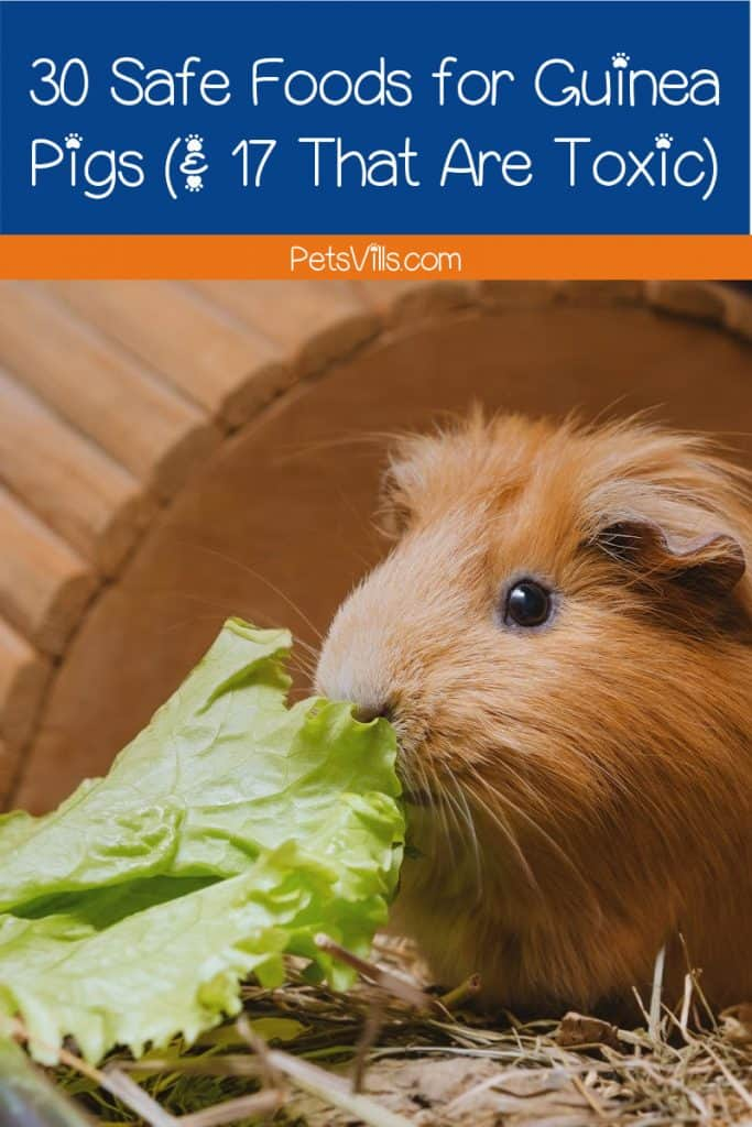 Brown cavy eating lettuce, one of the safe guinea pig foods