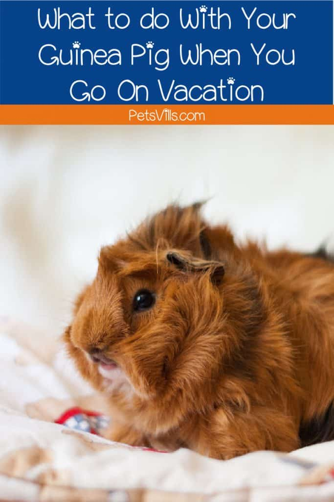 Guinea pig sitting in a cozy while family is on vacation