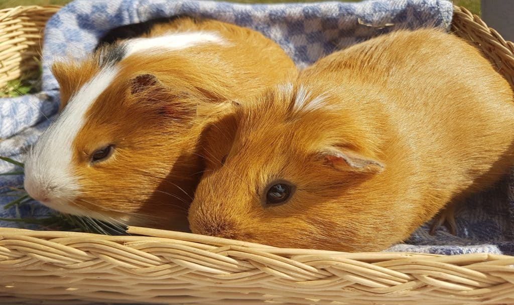 two brown guinea pigs on a basket