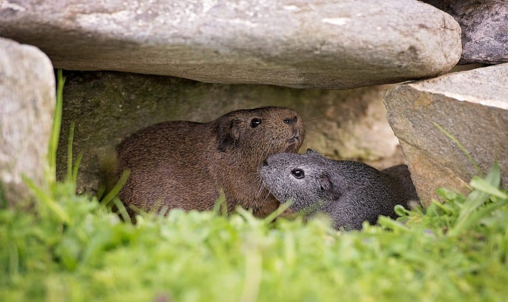 what to do with guinea pigs when on vacation? two gray guinea pigs were left on their house surrounded by rocks