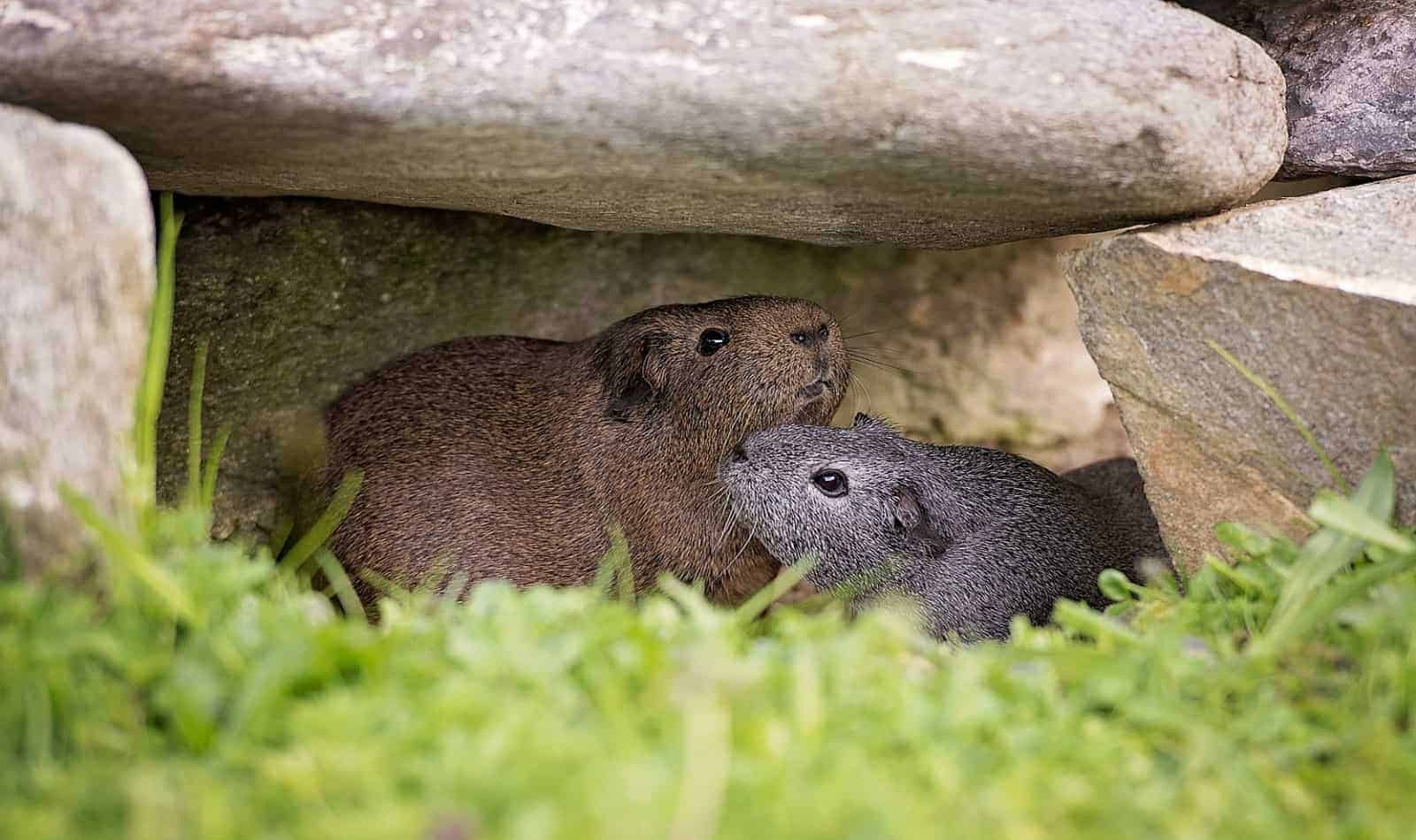 two gray guinea pigs surrounded by rocks