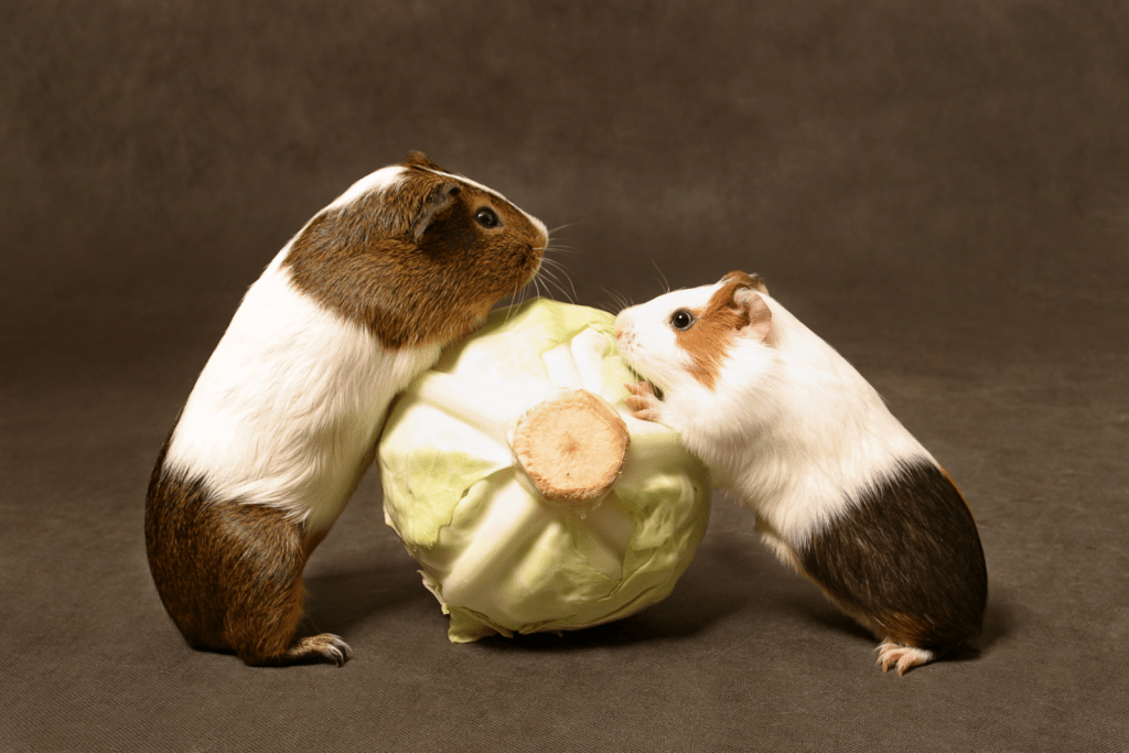 two guinea pigs fighting for a cabbage