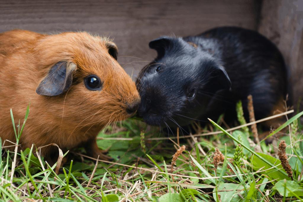 a black guinea pig kissing a brown guinea