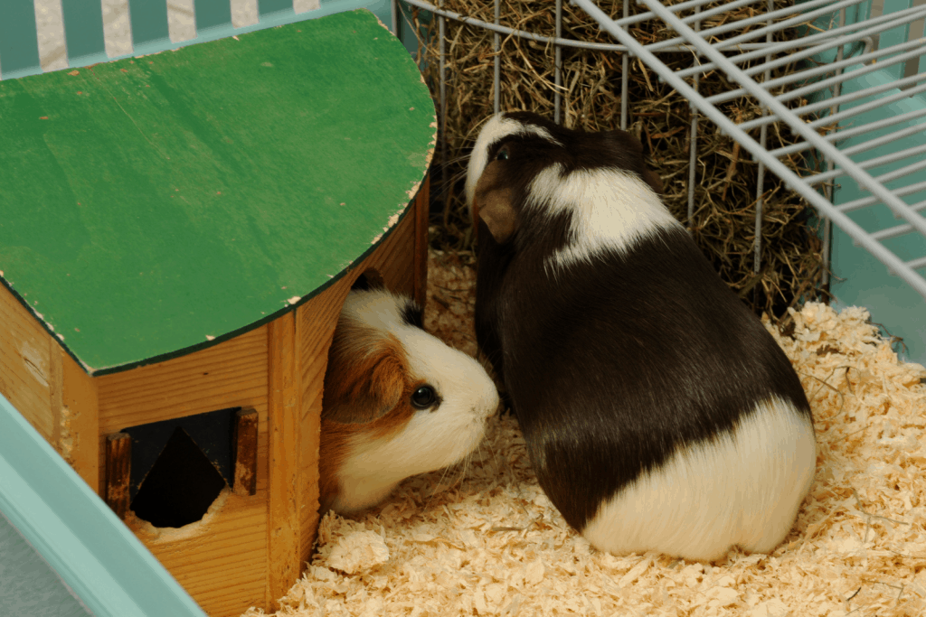 two guinea pigs in an enclosed cage with bedding