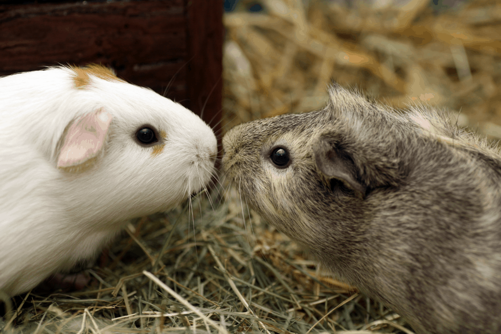 gray and white guinea pigs smelling each other